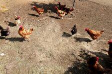 ARiMR: wsparcie dla gospodarstw dotkniętych ptasią grypą